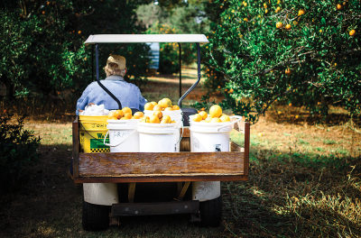 Local citrus farmer